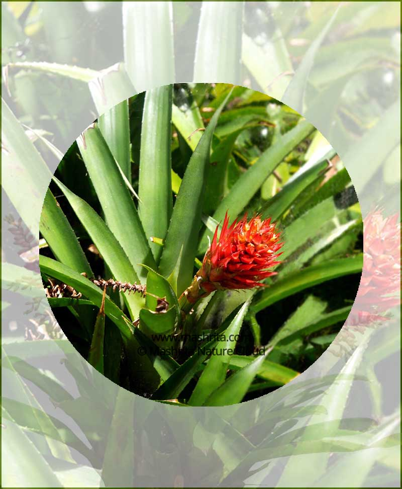 Billbergia-Pyramidalis-(Flaming-Torch)-Online-Plant-Nursery
