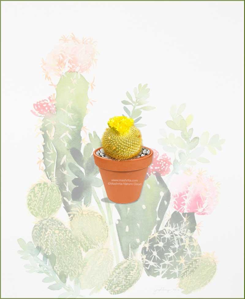 Brasilicactus-Graessneri-Online-Plant-Nursery
