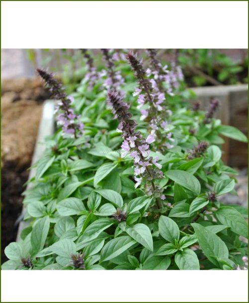 Buy-African-Blue-Basil-Potted-Plant-(Ocimum-kilimandscharicum)-Camphor-Basil Kapoor-Tulsi