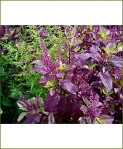 Buy-Krishna-Tulsi-Potted-Plants-(Ocimum-Tenuiflorum)