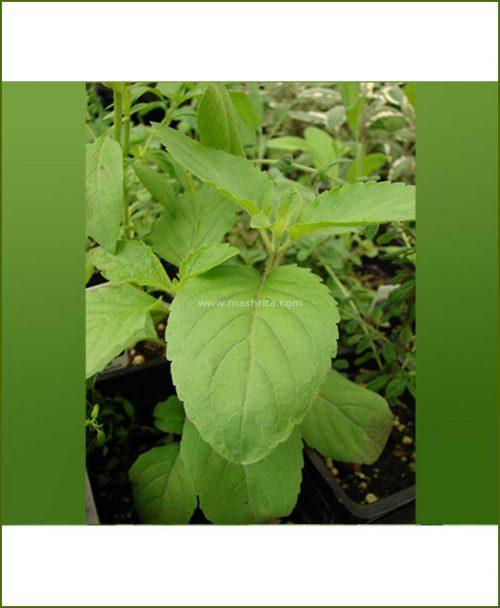 Buy-Van-Tulsi-Potted-Plant-(Ocimum-Gratissum)