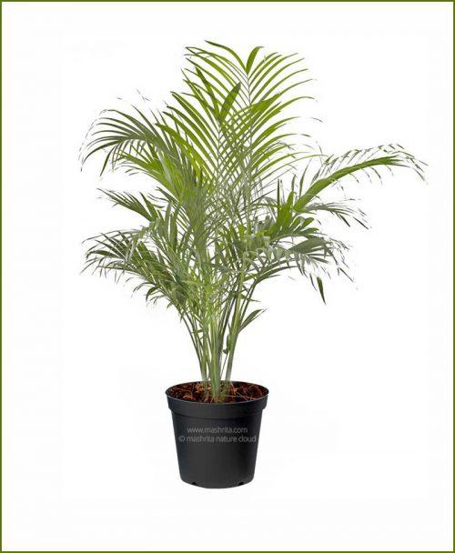 Cat-Palm-Chamaedorea-Cataractarum