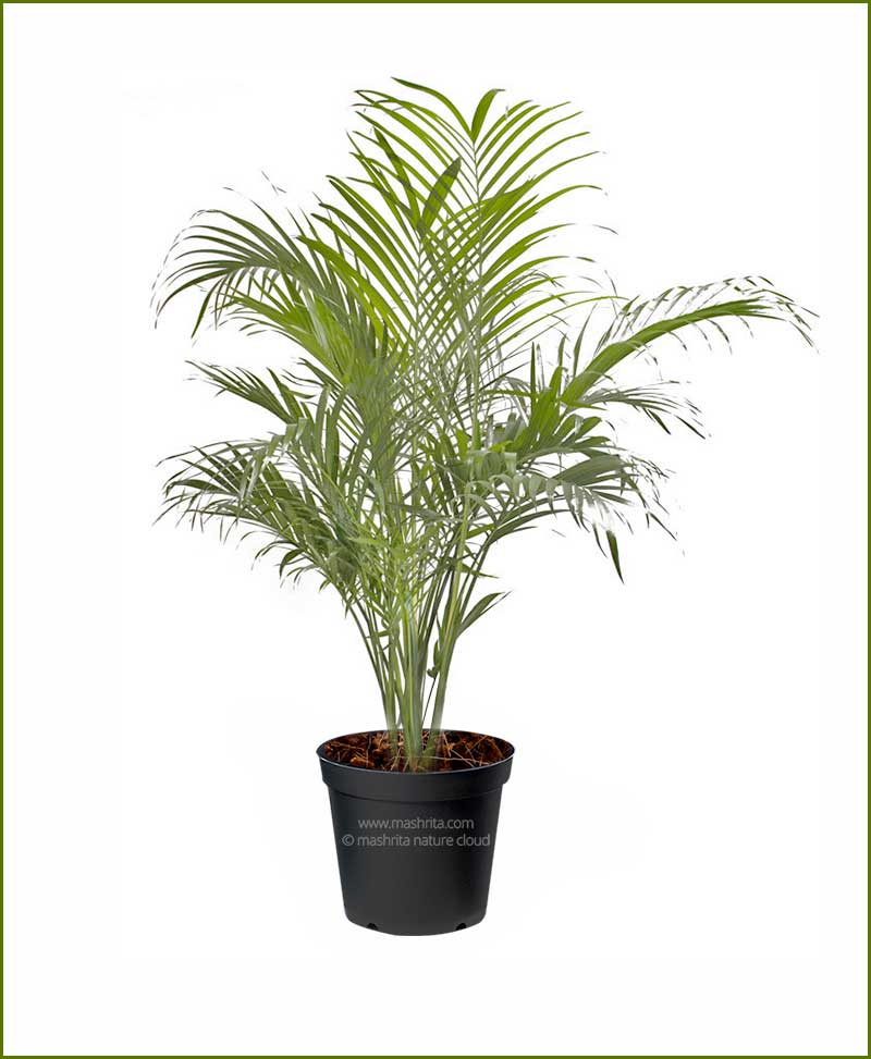 Cat-Palm-Chamaedorea-Cataractarum