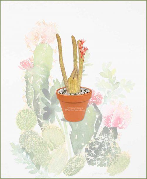Cleistocactus-Winteri-Online-Plant-Nursery