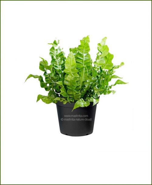 Cobra-Fren-(Asplenium-Nidus)__Mashrita_Nature_Cloud