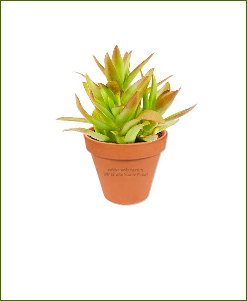 Crassula-Capitella-Campfire-Online-Plant-Nursery
