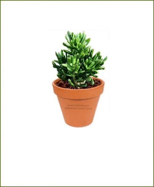 Crassula-Ovata-Gollum-Online-Plant-Nursery