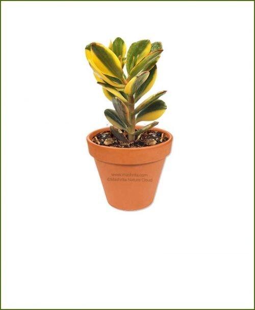 Crassula-Ovata-Tricolor-Online-Plant-Nursery