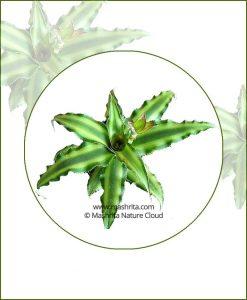 Cryptanthus-Acaulis-Variegata_Online-Plant-Nursery