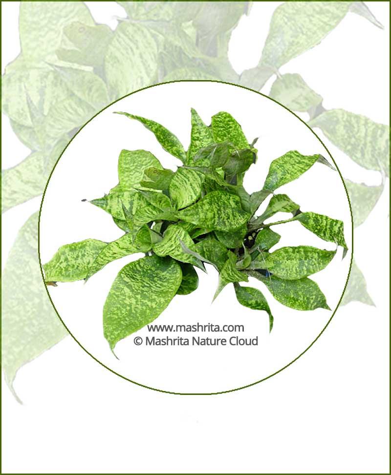 Cryptanthus-Beuckeri_Online-Plant-Nursery