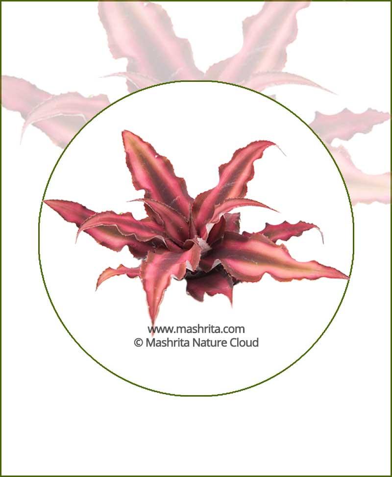 Cryptanthus-Bivittatus-'Red-Star'-Online-Plant-Nursery