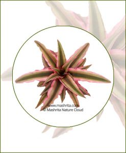 Cryptanthus-Earth-Star-Online-Plant-Nursery