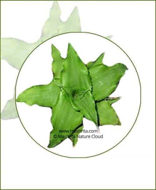 Cryptanthus-Green-Online-Plant-Nursery