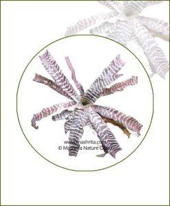 Cryptanthus-Zonatus-Online-Plant-Nursery