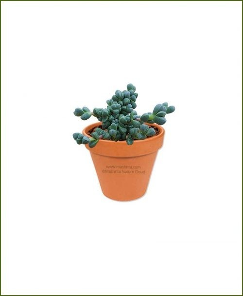Delosperma-Lehmanii-Online-Plant-Nursery