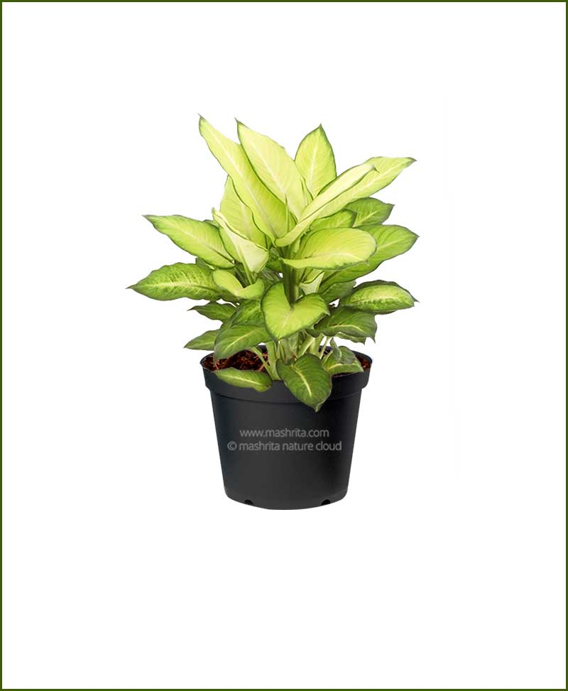 Dieffenbachia Honeydew - Online Nursery