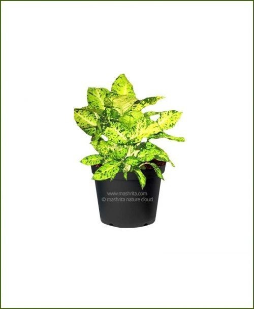 Dieffenbachia Mary - Mashrita_Nature_Cloud
