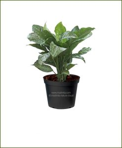 Dieffenbachia-Snow__Mashrita_Nature_Cloud