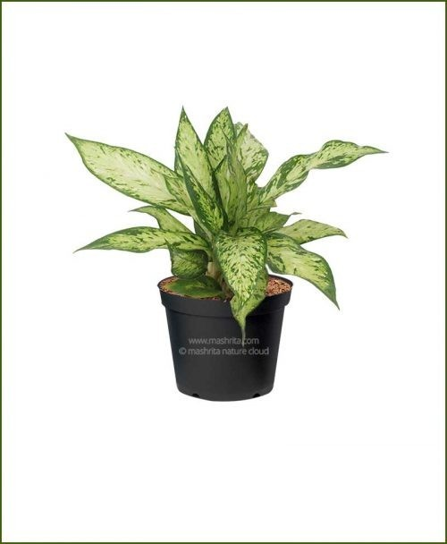 Dieffenbachia-Star-Bright__Mashrita_Nature_Cloud