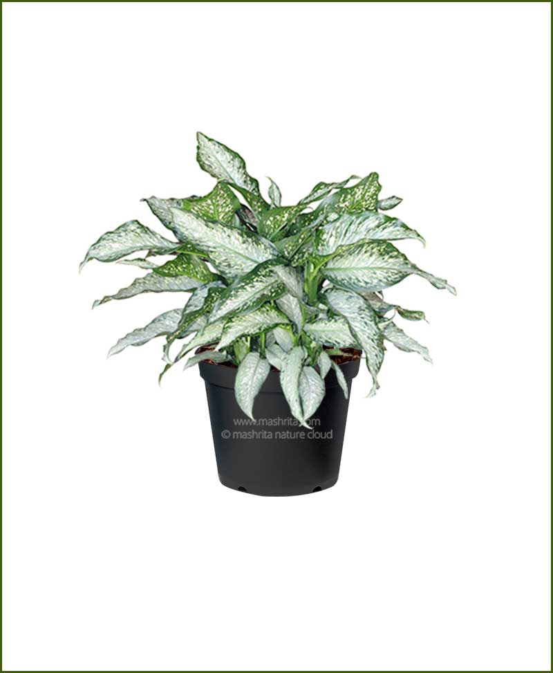 Dieffenbachia-Tiki__Mashrita_Nature_Cloud