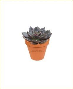 Echeveria-Black-Prince-Online-Plant-Nursery