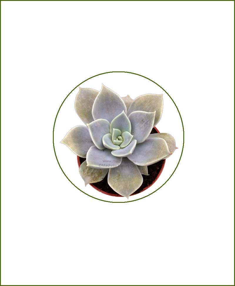 Echeveria-Carnicolor-Online-Plant-Nursery