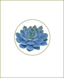 Echeveria-Glauca-Online-Plant-Nursery