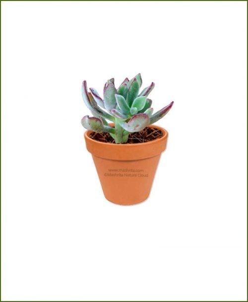 Echeveria-Pulvinata-Pulv-Oliver-Online-Plant-Nursery