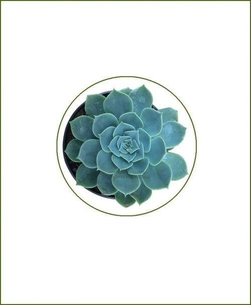 Echeveria-Pumila-Glauca-Online-Plant-Nursery