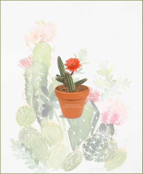 Echinopsis-Chamaecereus-Online-Plant-Nursery