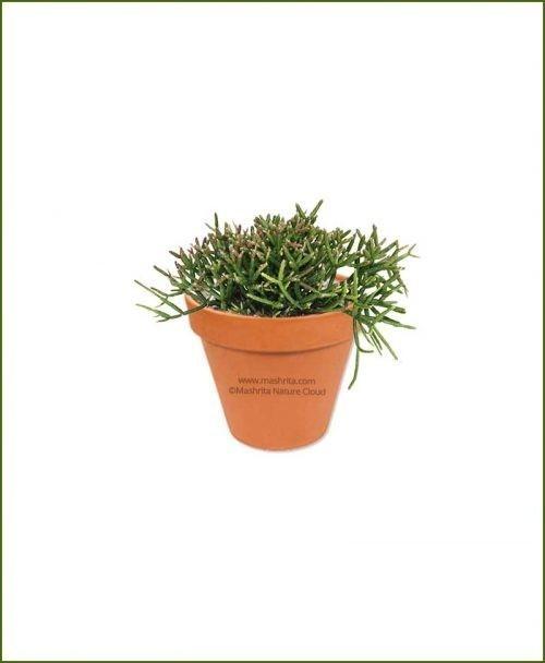 Erythro-Rhipsalis-Pilocarpa-Online-Plant-Nursery