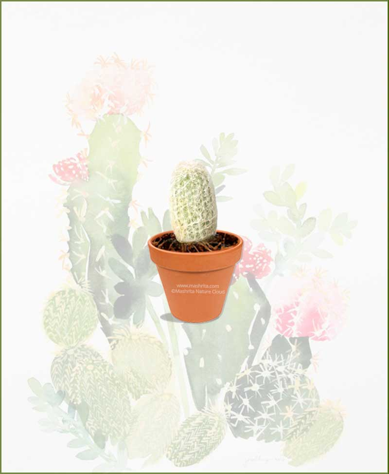 Espostoa-Melanostele-Online-Plant-Nursery
