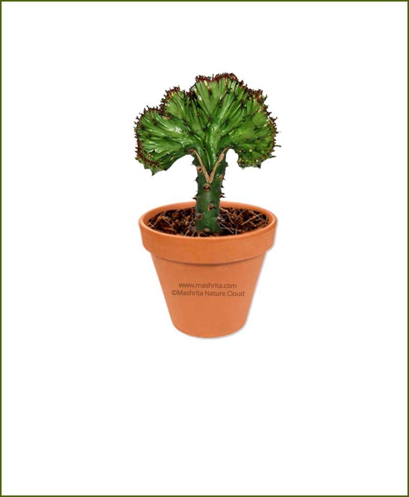 Euphorbia-Lactea-Online-Plant-Nursery