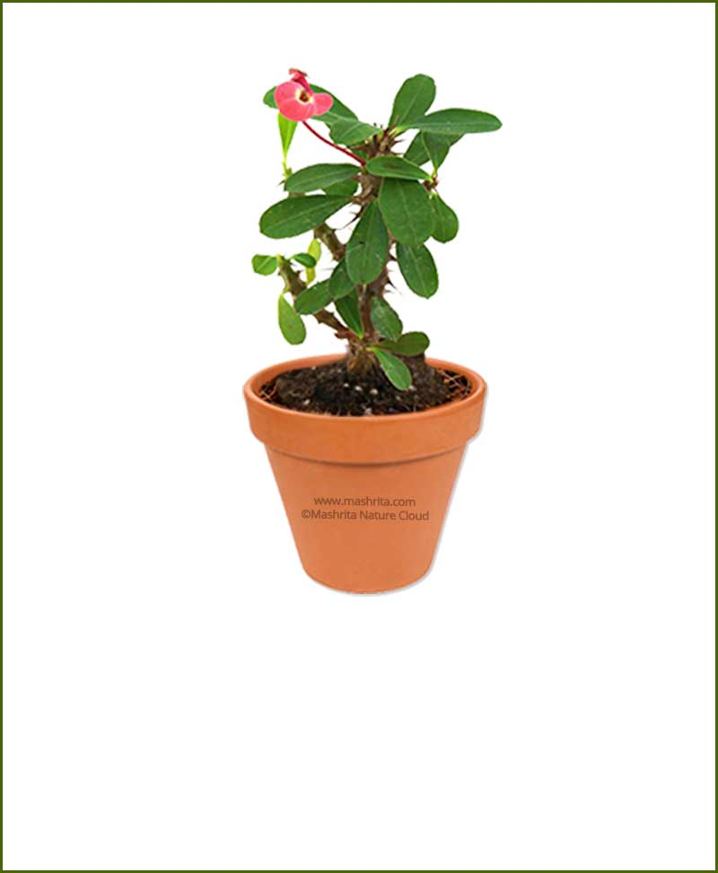 Euphorbia-Milli-Plant-Nursery