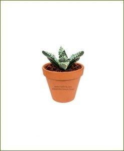 Faucaria-Tigrina-Online-Plant-Nursery