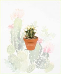 Ferocactus-Electracanthus-Online-Plant-Nursery