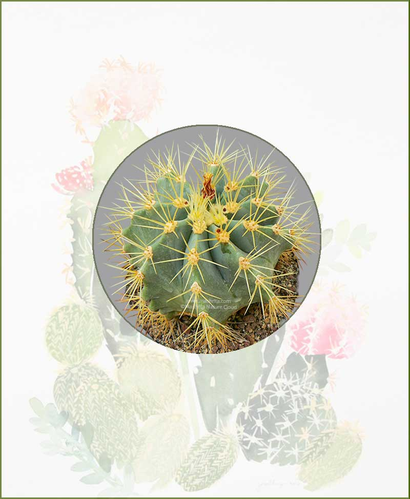 Ferocactus-Glaucescens-Online-Plant-Nursery