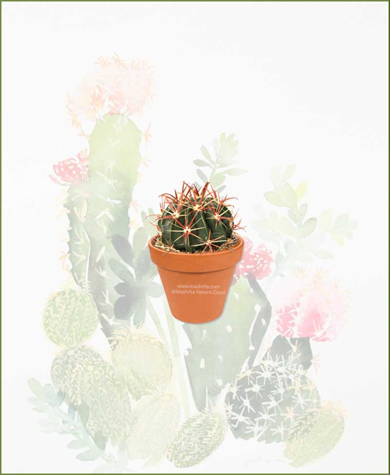 Ferocactus-Latispinus-Online-Plant-Nursery