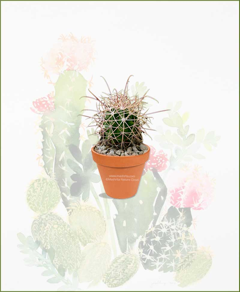 Ferocactus-acanthodes-Online-Plant-Nursery