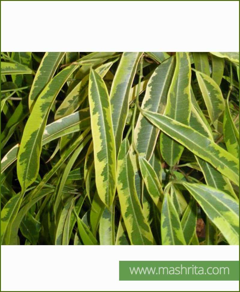 Ficus Amstel Gold