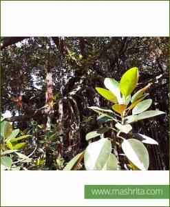 Ficus Benghalensis (Bargad - Vat Vriksh)