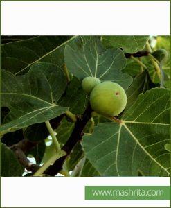 Ficus Carica (Common Fig)