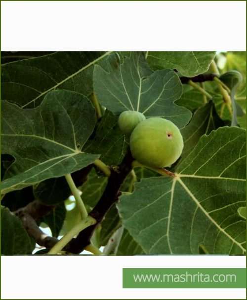 Ficus Carica (Common Fig)