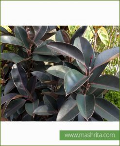 Ficus Elastica Burgundy (Rubber Fig Black)