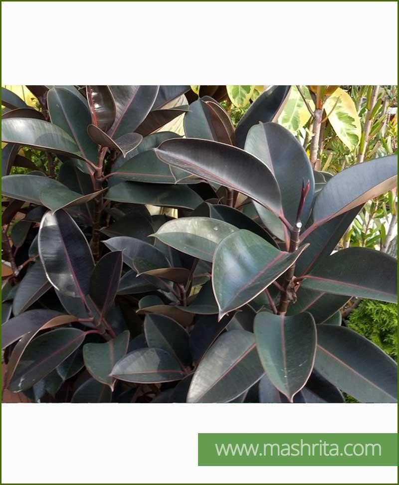Ficus Elastica Burgundy (Rubber Fig Black)