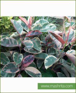 Ficus Elastica (Variegata)