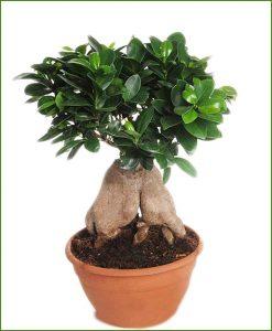 Ficus-Microcarpa-(Ginseng)-4Kg_Mashrita_Nature_Cloud