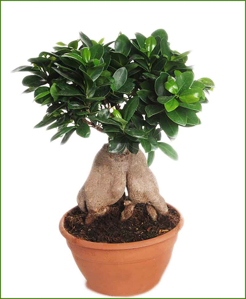 ficus microcarpa 4000 grams bonsai ficus ginseng bonsai. Black Bedroom Furniture Sets. Home Design Ideas