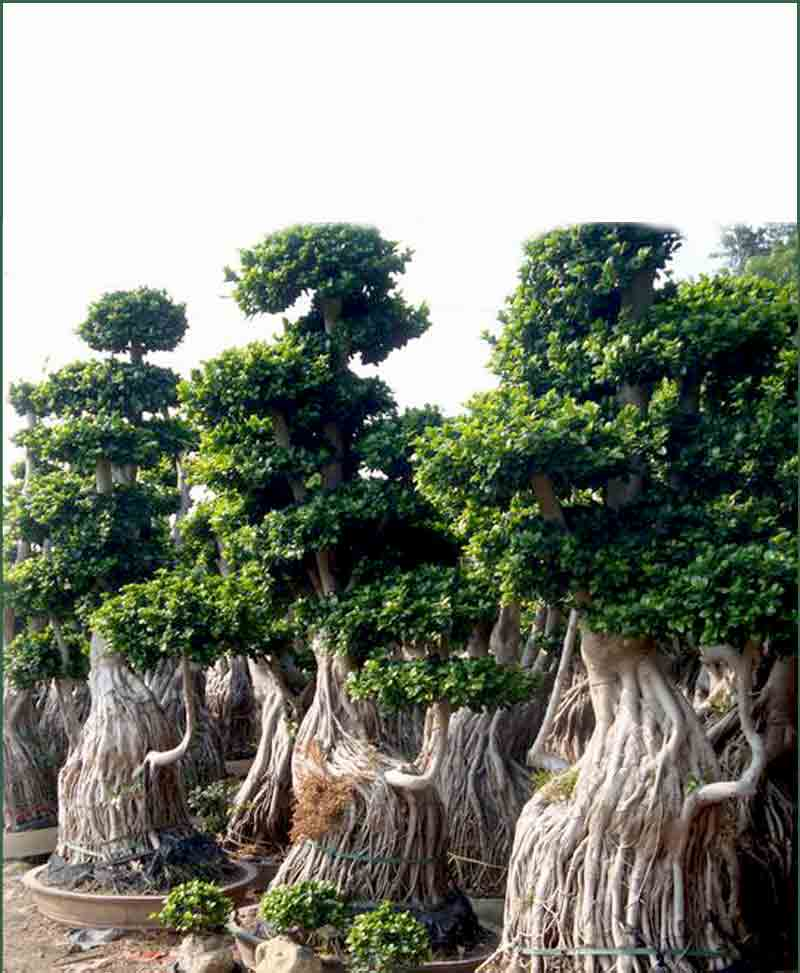 ficus microcarpa ficus ginseng multi ball large tree. Black Bedroom Furniture Sets. Home Design Ideas