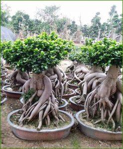 Ficus-Microcarpa-(Ginseng)_6-Kg_Mashrita_Nature_Cloud